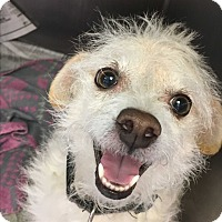 Terrier (Unknown Type, Medium) Mix Dog for adoption in Visalia, California - Gidget