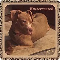 Adopt A Pet :: Butterscotch - Warren, MI
