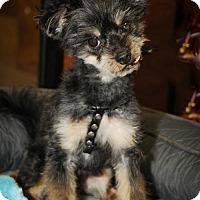Adopt A Pet :: Olyver - N. Babylon, NY