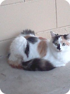 Calico Cat for adoption in Orlando, Florida - Chloe