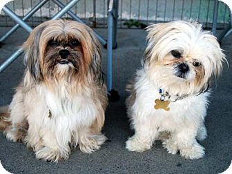 Shih Tzu/Lhasa Apso Mix Dog for adoption in Los Angeles, California - TIMMY & WALDO