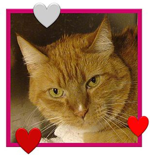 Domestic Shorthair Cat for adoption in El Cajon, California - Toby