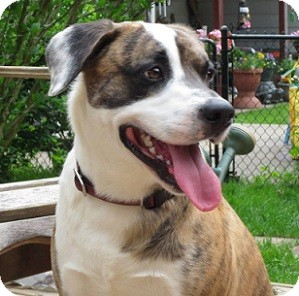 Boxer Mix Dog for adoption in Hamilton, Ontario - Bandit