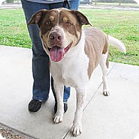 Adopt A Pet :: Gus - Kingwood, TX