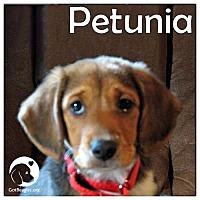 Adopt A Pet :: Petunia - Novi, MI