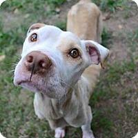 American Staffordshire Terrier Mix Dog for adoption in Whitestone, New York - Benni