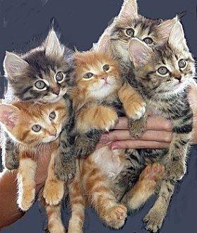 Domestic Shorthair Kitten for adoption in Huntsville, Alabama - Kittens !!!