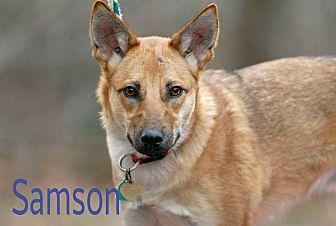 German Shepherd Dog Mix Puppy for adoption in Pottsville, Pennsylvania - Samson