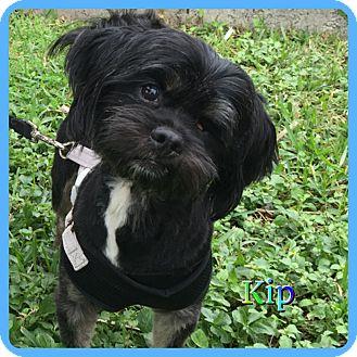 Shih Tzu Mix Dog for adoption in Hollywood, Florida - Kip