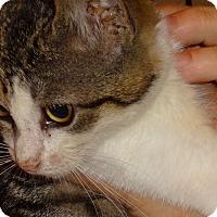 Adopt A Pet :: KITTY CASTLE -PASHA'13 - New York, NY