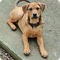 Adopt A Pet :: Kimber - Salem, NH