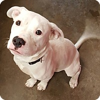 Adopt A Pet :: Marshmallow - North Olmsted, OH