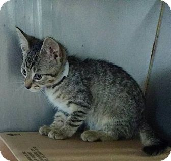 Domestic Shorthair Kitten for adoption in Powellsville, North Carolina - ANDY