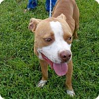 Pit Bull Terrier Dog for adoption in Halifax, North Carolina - Goofy
