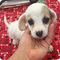 Adopt A Pet :: Amira - Brea, CA