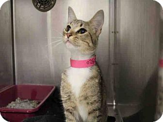 Domestic Shorthair Cat for adoption in Minneapolis, Minnesota - Penelope