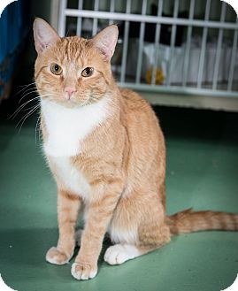Domestic Shorthair Cat for adoption in New York, New York - Bo