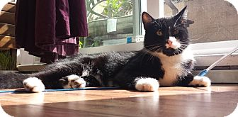Domestic Shorthair Cat for adoption in Vancouver, British Columbia - River