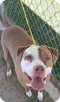 Pit Bull Terrier/American Bulldog Mix Dog for adoption in Fruit Heights, Utah - Lemon