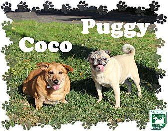 Pug/Dachshund Mix Dog for adoption in Fallston, Maryland - Coco & Puggy