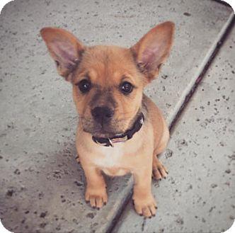 Pit Bull Terrier Mix Puppy for adoption in Crestline, California - Billie