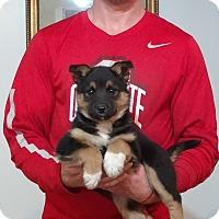 Adopt A Pet :: Storm - Gahanna, OH
