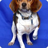 Beagle Mix Dog for adoption in Gloucester, Virginia - SARAH