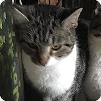 Adopt A Pet :: Mork - Germantown, MD