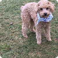 Adopt A Pet :: Balo - Tumwater, WA