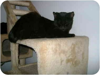 Domestic Shorthair Cat for adoption in Etobicoke, Ontario - Addie