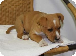 Labrador Retriever/Boxer Mix Puppy for adoption in Marlton, New Jersey - Sydney