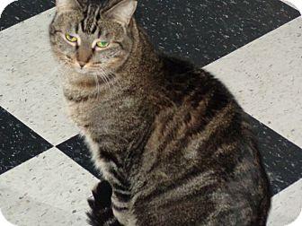 Abyssinian Cat for adoption in Phoenix, Arizona - Sugar