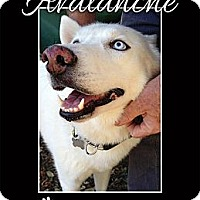 Adopt A Pet :: Avalanche - Clearwater, FL