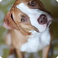 Adopt A Pet :: Tank - Reisterstown, MD