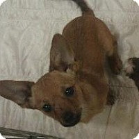 Adopt A Pet :: Tidbit - Phoenix, AZ