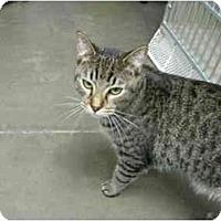 Adopt A Pet :: Spock - Mesa, AZ