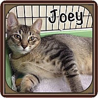 Adopt A Pet :: Joey - Bradenton, FL
