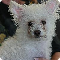 Adopt A Pet :: Daisy -Terripoo! - Canoga Park, CA