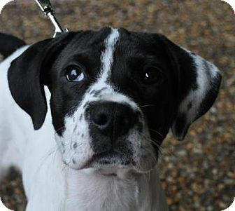 Melody | Adopted Puppy | Atlanta, GA | English Pointer Mix Selkirk Rex Atlanta