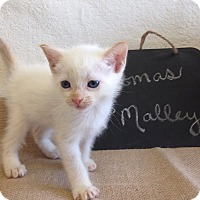 Adopt A Pet :: Thomas O'Malley - Coral Springs, FL
