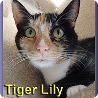 Domestic Shorthair Cat for adoption in Aldie, Virginia - Tiger Lily