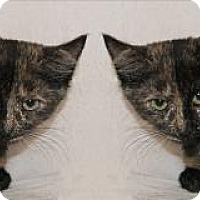 Domestic Shorthair Cat for adoption in Atlanta, Georgia - Mia and Mya