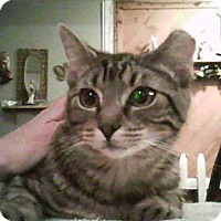 Domestic Shorthair Cat for adoption in Middletown, Ohio - Spanky2