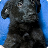 Adopt A Pet :: Blaze Adoption pending - Manchester, CT