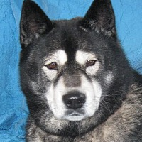 Chow Chow/Akita Mix Dog for adoption in Cuba, New York - Kuda