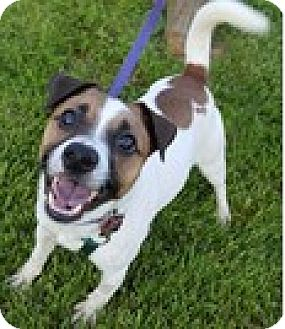 Parson Russell Terrier Dog for adoption in Bloomington, Illinois - Dude