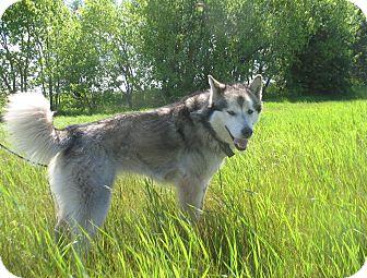 Alaskan Malamute Mix Dog for adoption in Egremont, Alberta - Jaxx