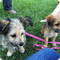Adopt A Pet :: Toto - Waycross, GA