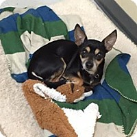 Chihuahua Dog for adoption in Erwin, Tennessee - Dudley