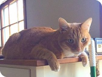 Domestic Shorthair Cat for adoption in Bloomingdale, Illinois - Sam